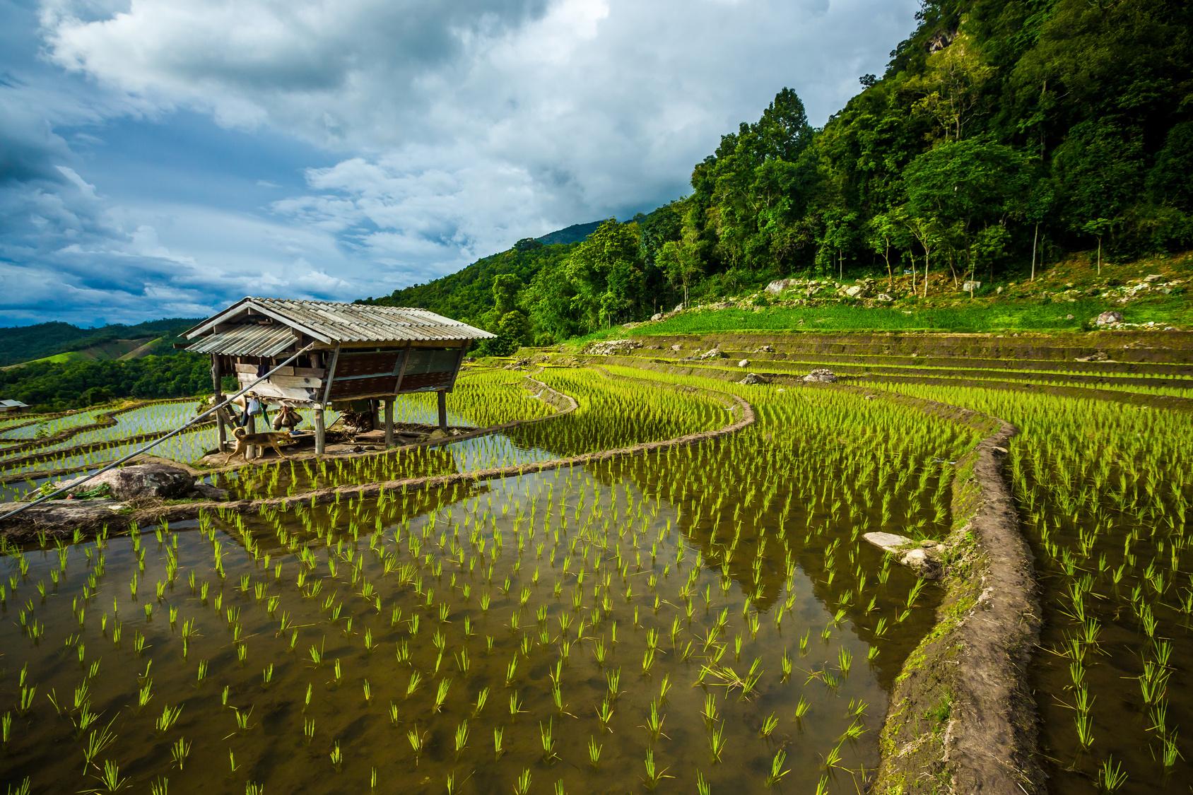 Steps rice field