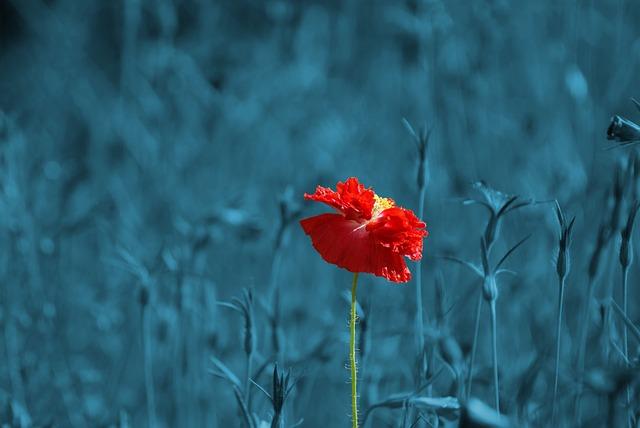 poppy-186635_640